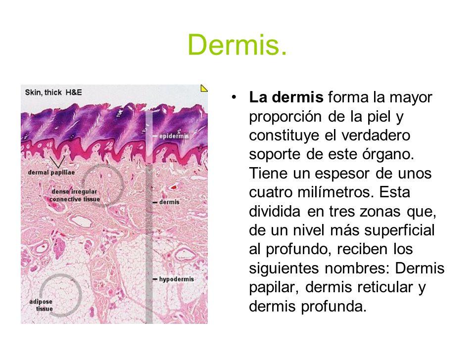 Hipodermis. La hipodermis es la capa más profunda de la piel.