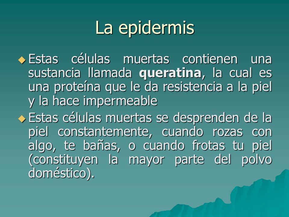 La epidermis  Unas células de la epidermis producen una sustancia parda conocida como melanina.
