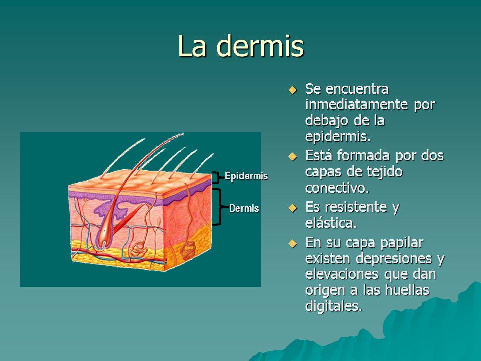 La dermis  Está irrigada por pequeñas arterias y venas llamadas arteriolas y vénulas, que además de irrigar a la piel, son responsables de regular la temperatura corporal.