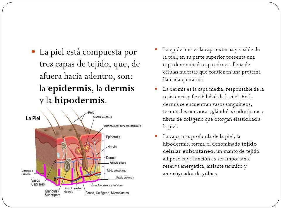 La piel está compuesta por tres capas de tejido, que, de afuera hacia adentro, son: la epidermis, la dermis y la hipodermis. La epidermis es la capa e