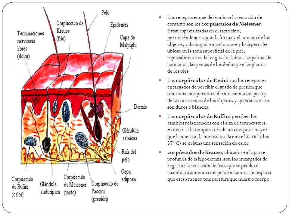 Las distintas sensaciones del tacto son transmitidas por estos receptores (corpúsculos) a la corteza cerebral, específicamente, a la zona ubicada detrás de la Cisura de Rolando El dolor es percibido a través de sus propios receptores, llamados álgidos, que son terminaciones libres intradérmicas, distribuidas por todo el cuerpo en el tejido celular subcutáneo y en la parte más profunda de la epidermis