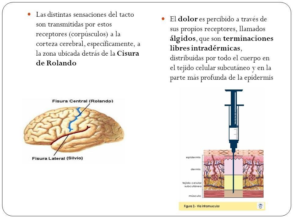 Las distintas sensaciones del tacto son transmitidas por estos receptores (corpúsculos) a la corteza cerebral, específicamente, a la zona ubicada detr