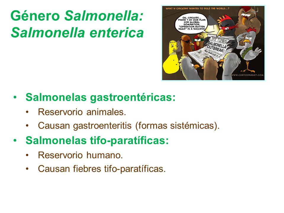Género Salmonella: Salmonella enterica Salmonelas gastroentéricas: Reservorio animales. Causan gastroenteritis (formas sistémicas). Salmonelas tifo-pa