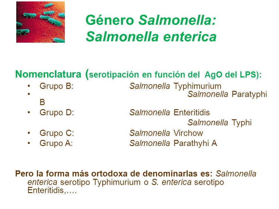 Género Salmonella: Salmonella enterica Nomenclatura ( serotipación en función del AgO del LPS): Grupo B: Salmonella Typhimurium Salmonella Paratyphi B