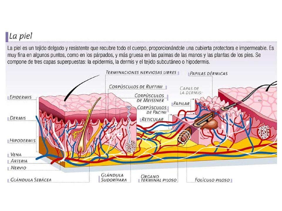 Capas de la piel La piel está compuesta de las siguientes capas, y cada una de ellas desempeña funciones específicas: Epidermis.