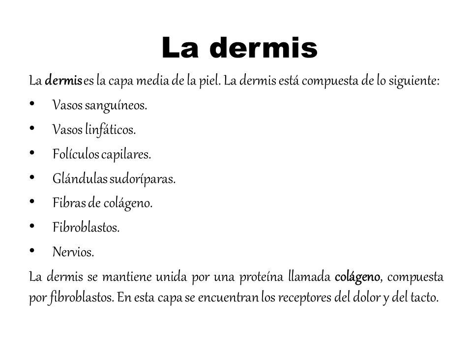 La dermis La dermis es la capa media de la piel. La dermis está compuesta de lo siguiente: Vasos sanguíneos. Vasos linfáticos. Folículos capilares. Gl