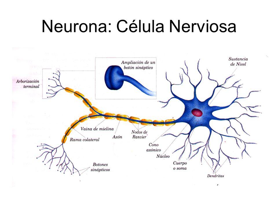 Dorable Células Nerviosas Inspiración - Imágenes de Anatomía Humana ...