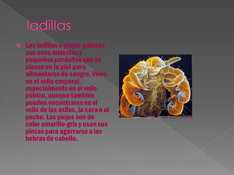  Las ladillas o piojos púbicos son unos molestos y pequeños parásitos que se clavan en la piel para alimentarse de sangre.