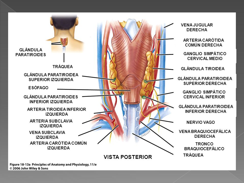 Perfecto Paratiroidea Tiroides Embellecimiento - Anatomía de Las ...