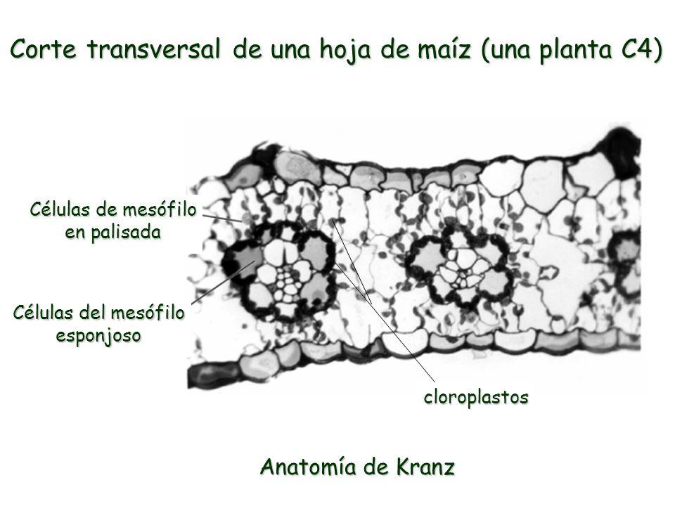 Contemporáneo Hoja De Planta De La Anatomía Modelo - Imágenes de ...