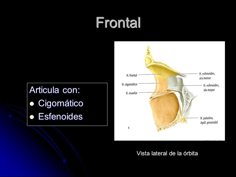 Frontal Articula con: Cigomático Cigomático Esfenoides Esfenoides Vista lateral de la órbita