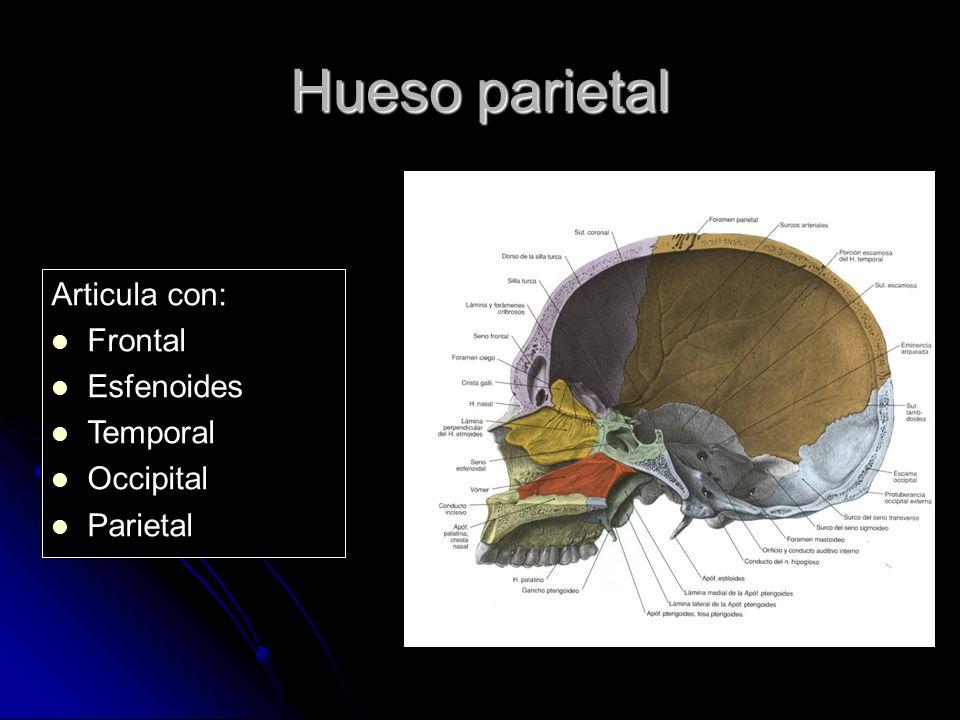 Hueso parietal Articula con: Frontal Esfenoides Temporal Occipital Parietal