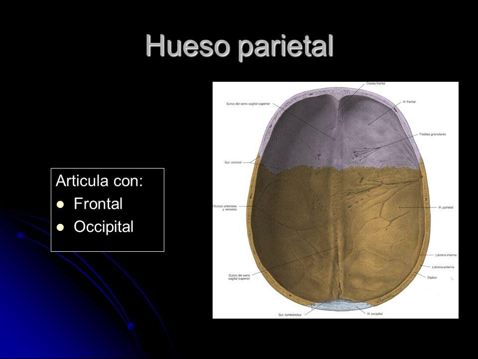 Hueso parietal Articula con: Frontal Occipital