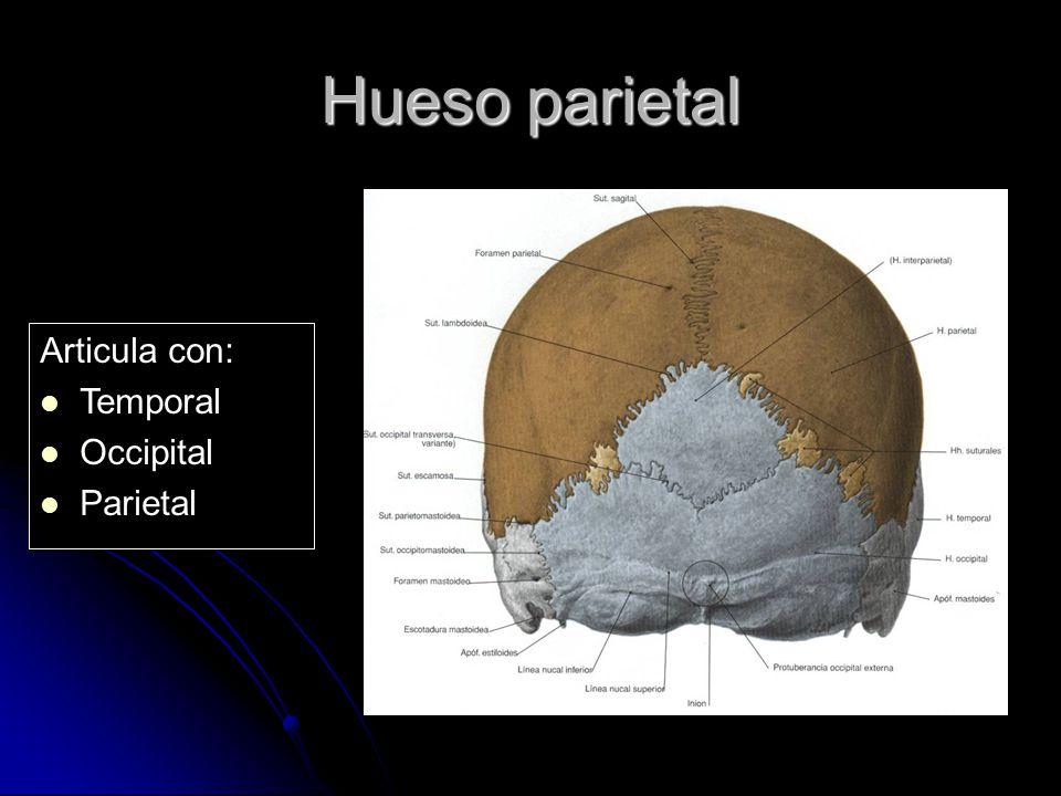 Hueso parietal Articula con: Temporal Occipital Parietal