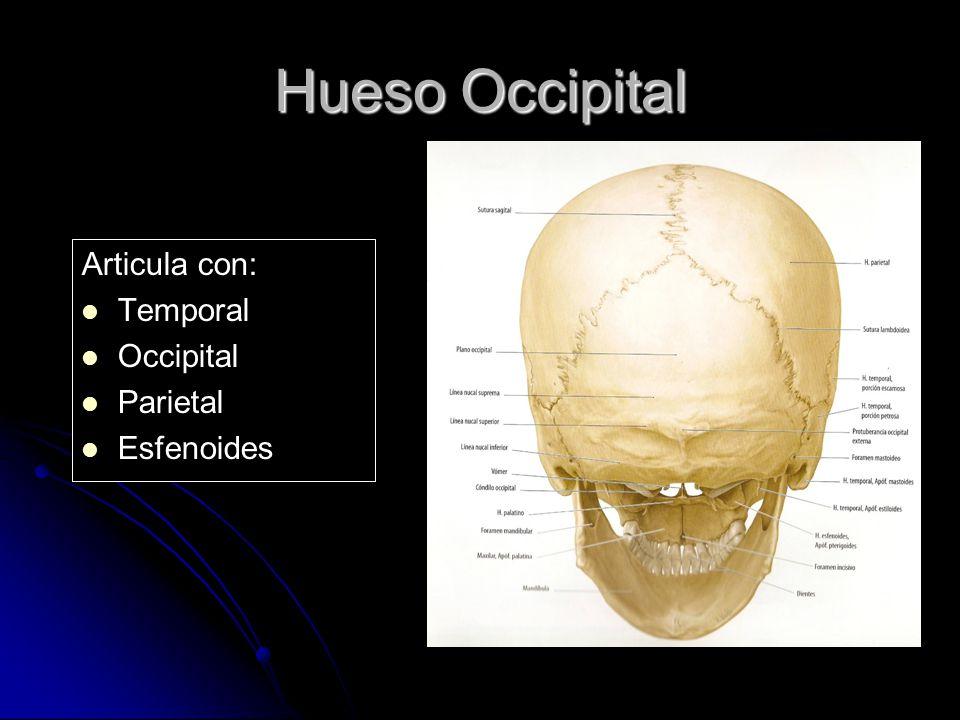 Articula con: Temporal Occipital Parietal Esfenoides