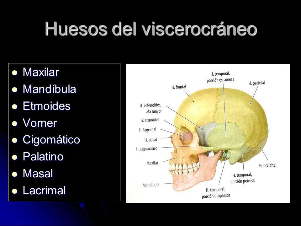 Huesos del viscerocráneo Maxilar Maxilar Mandíbula Mandíbula Etmoides Etmoides Vomer Vomer Cigomático Cigomático Palatino Palatino Masal Masal Lacrima
