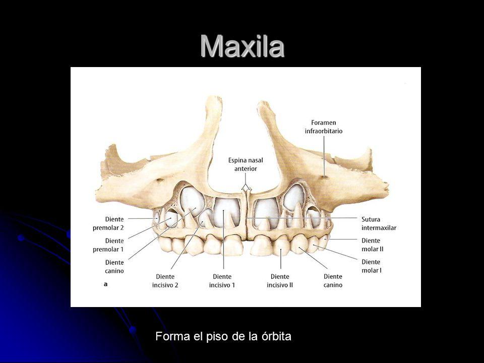 Maxila Forma el piso de la órbita
