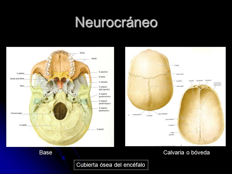 Neurocráneo Cubierta ósea del encéfalo BaseCalvaria o bóveda