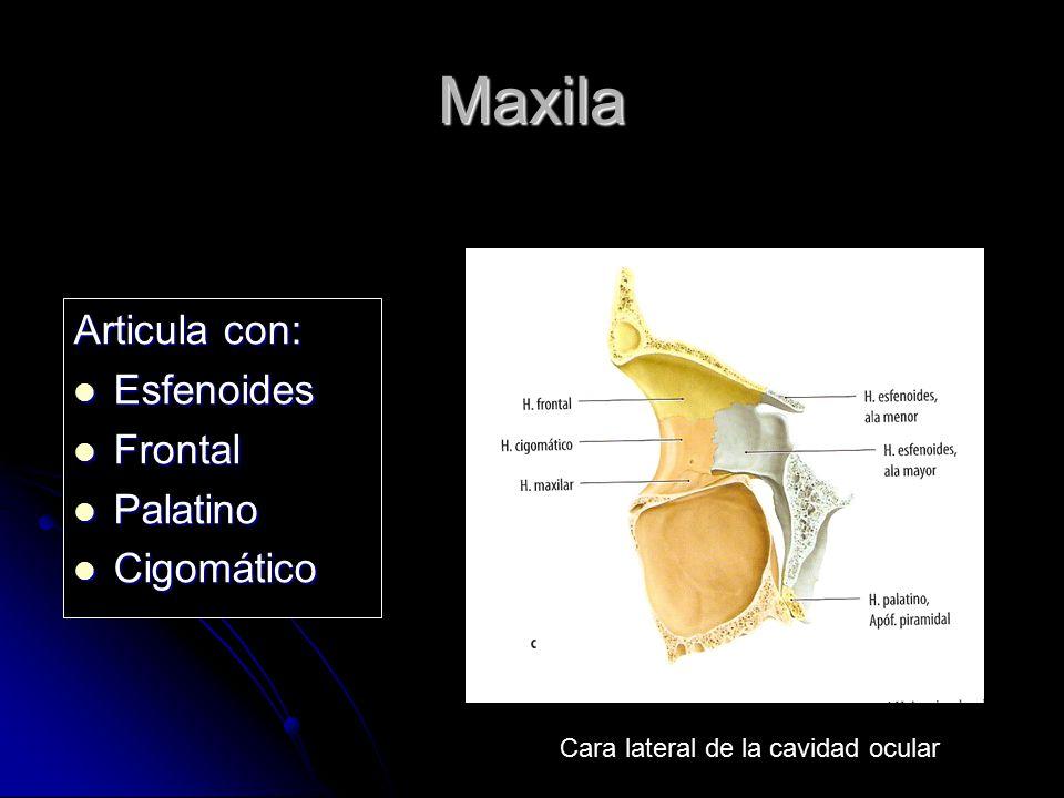 Maxila Articula con: Esfenoides Esfenoides Frontal Frontal Palatino Palatino Cigomático Cigomático Cara lateral de la cavidad ocular