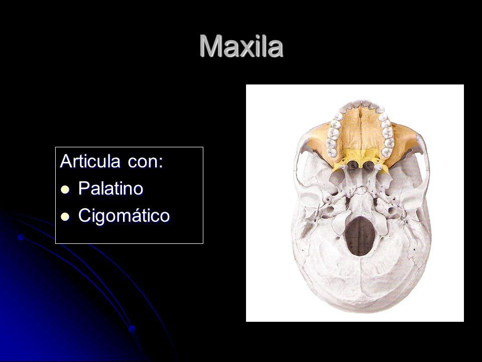 Maxila Articula con: Palatino Palatino Cigomático Cigomático