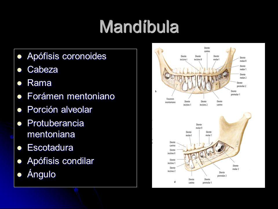 Mandíbula Apófisis coronoides Apófisis coronoides Cabeza Cabeza Rama Rama Forámen mentoniano Forámen mentoniano Porción alveolar Porción alveolar Prot