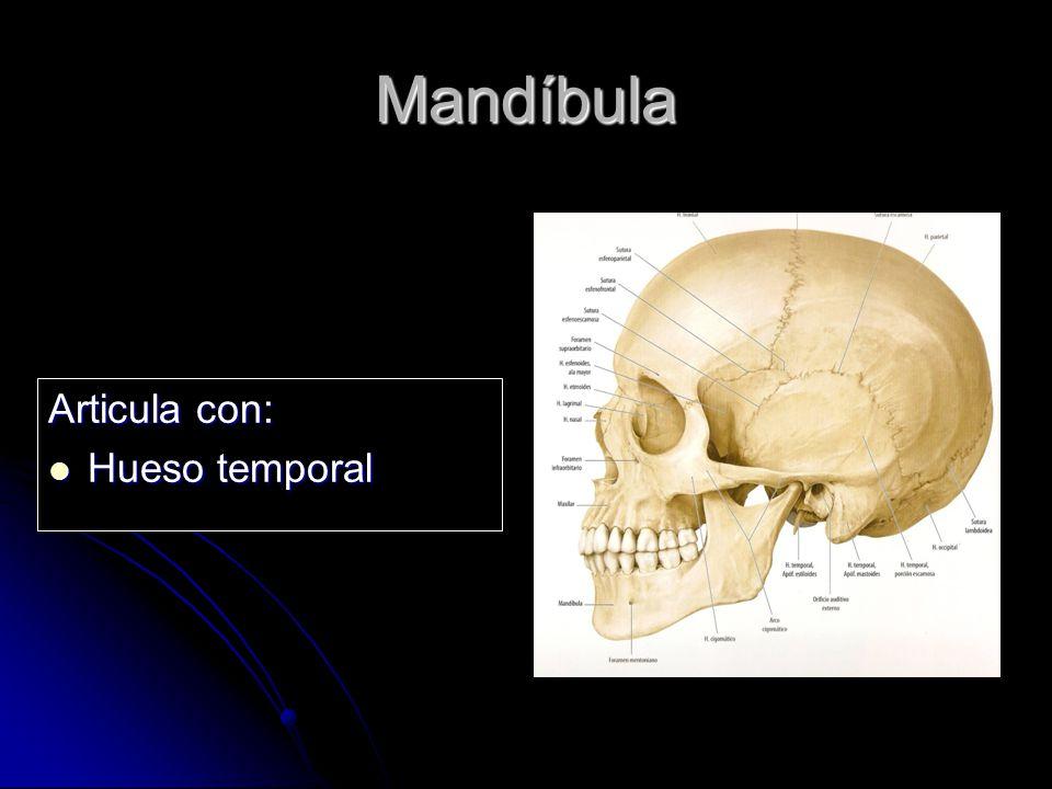 Mandíbula Articula con: Hueso temporal Hueso temporal