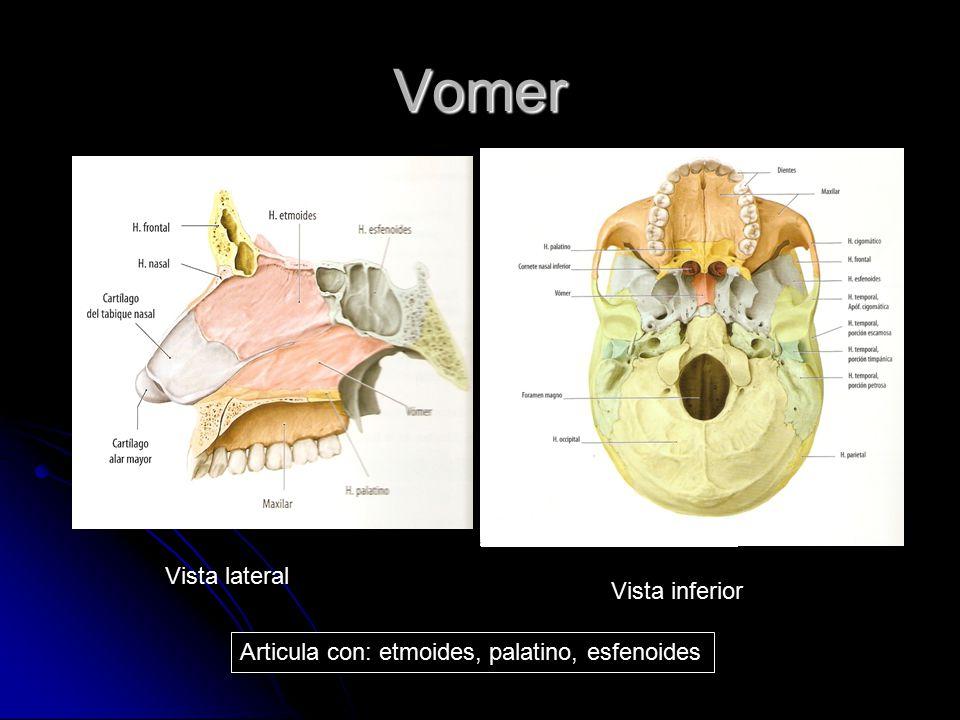 Vomer Vista lateral Vista inferior Articula con: etmoides, palatino, esfenoides