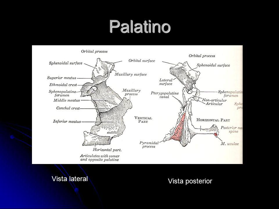 Palatino Vista lateral Vista posterior