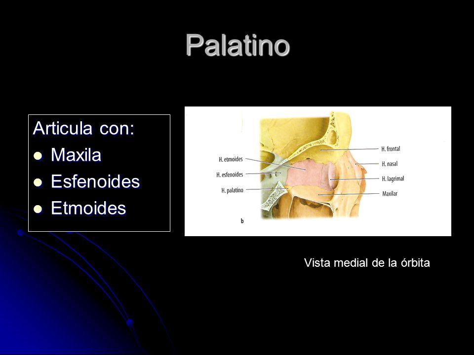 Palatino Articula con: Maxila Maxila Esfenoides Esfenoides Etmoides Etmoides Vista medial de la órbita