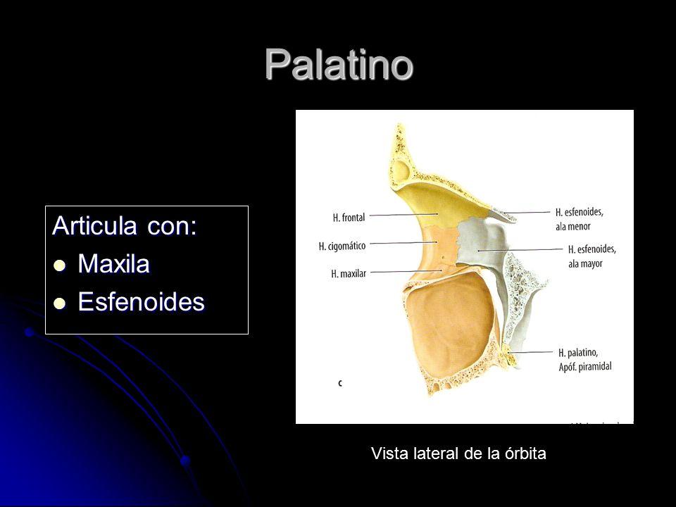 Palatino Articula con: Maxila Maxila Esfenoides Esfenoides Vista lateral de la órbita