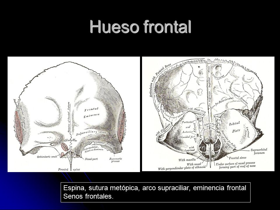 Hueso frontal Articula con: Parietal Nasal Maxila Cigomático Lacrimales Etmoides Esfenoides Forma el techo de la órbita y parte anterior de la base del cráneo
