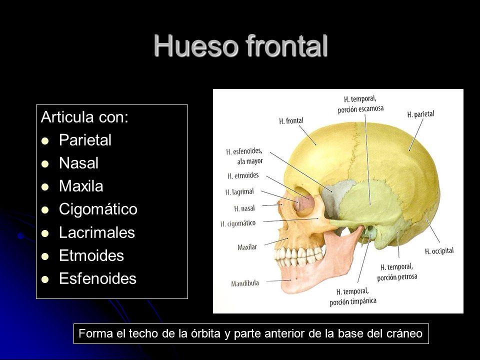 Hueso frontal Articula con: Parietal Nasal Maxila Cigomático Lacrimales Etmoides Esfenoides Forma el techo de la órbita y parte anterior de la base de