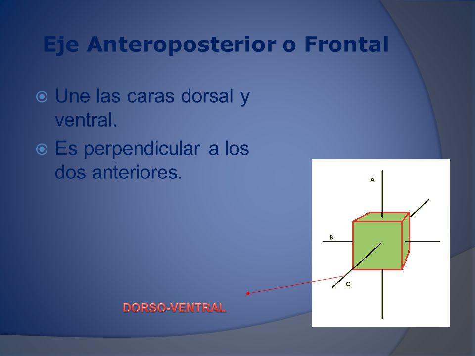 Los ejes conforman planos Planos coronales o frontales: se orientan de manera vertical, de esta forma dividen al cuerpo en anterior y posterior.