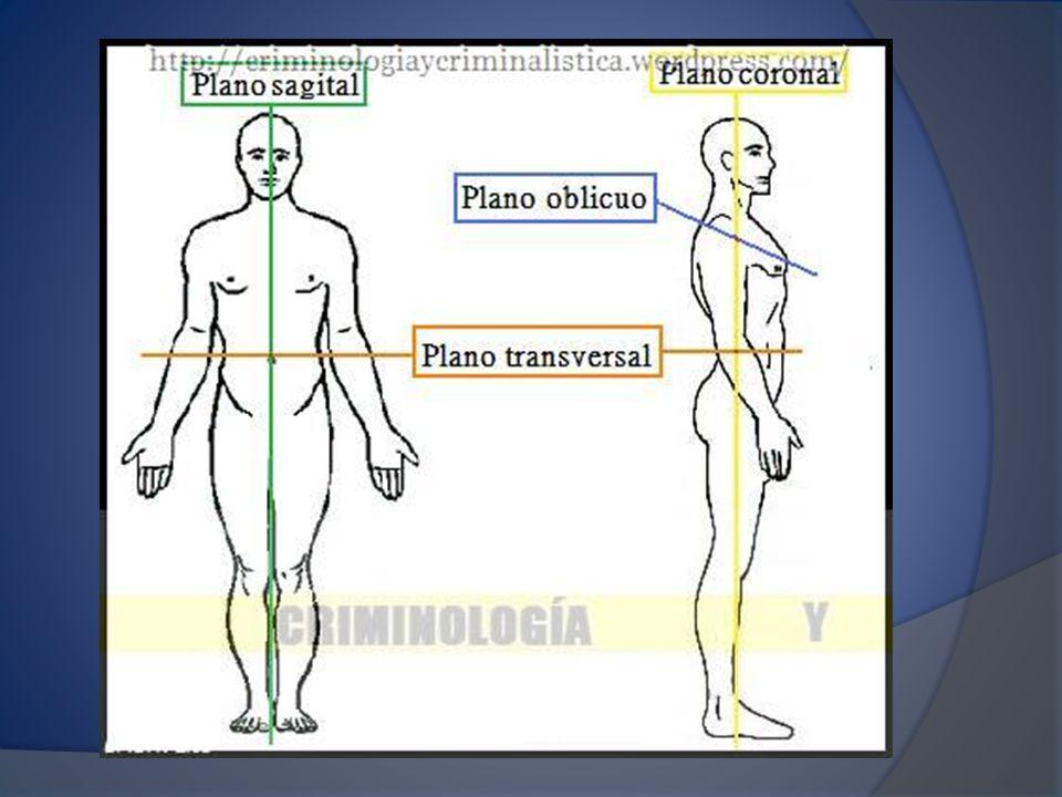 El plano frontal (coronal) es un plano vertical paralelo a la posición anatómica anterior que divide el cuerpo en dos partes, la anterior y la posterior.