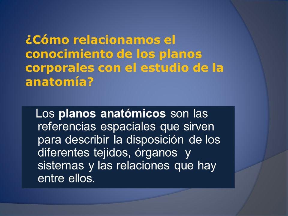 Posición anatómica Es la adecuada para el estudio anatómico del cuerpo humano.