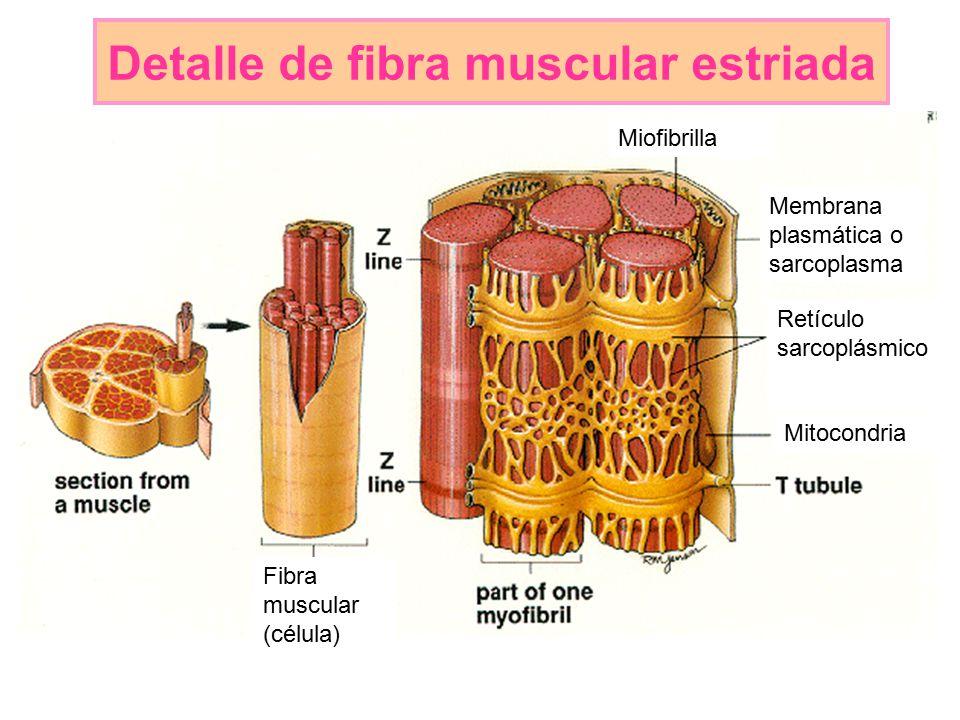 Vistoso Anatomía De La Célula Muscular Regalo - Anatomía de Las ...