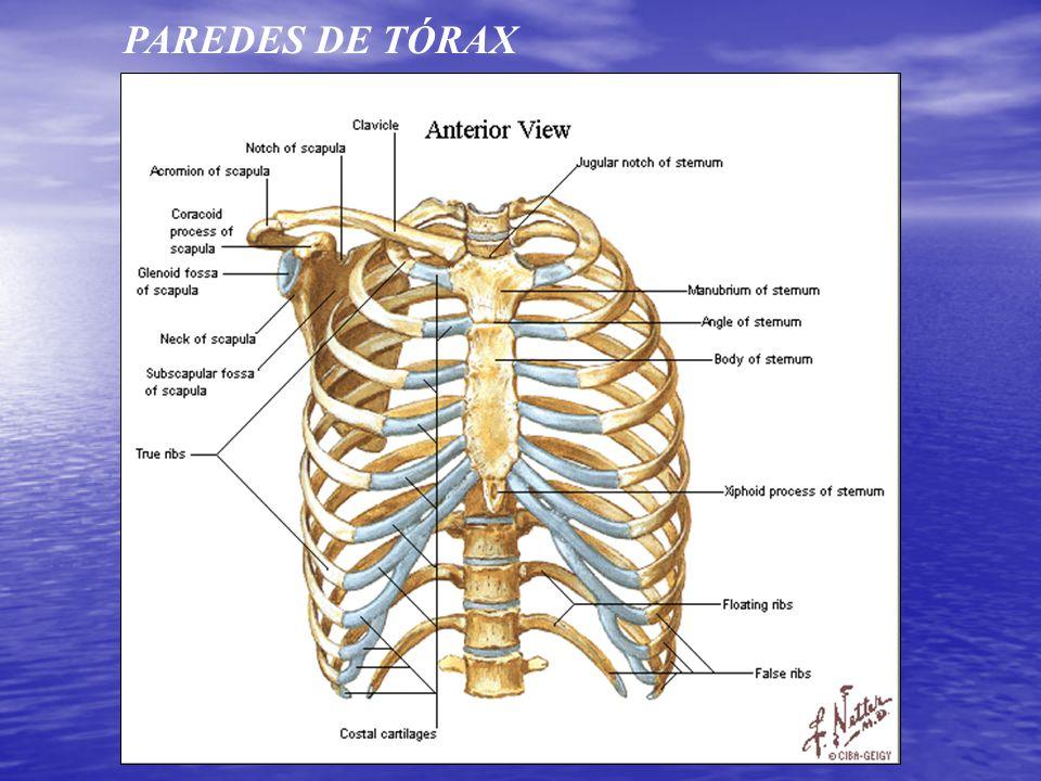 Lujo Tórax Anatomía Humana Fotos - Imágenes de Anatomía Humana ...