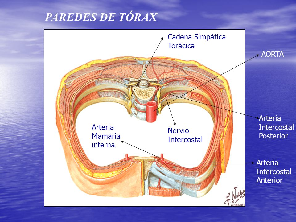 Contemporáneo Anatomía De La Pared Posterior Del Tórax Patrón ...