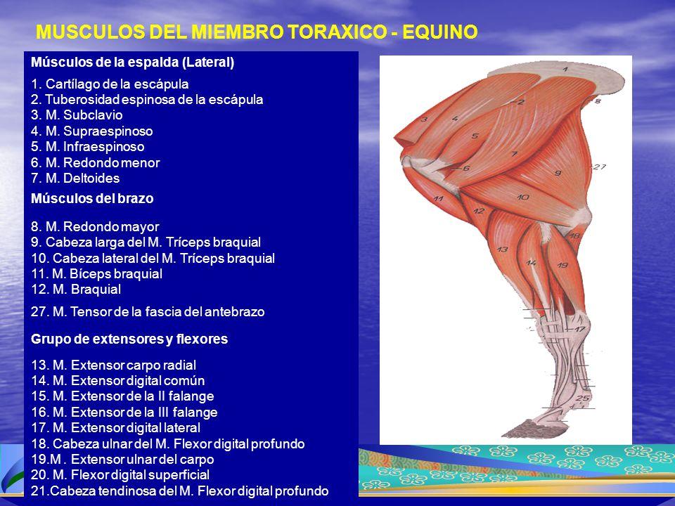 MUSCULOS DEL MIEMBRO TORAXICO - EQUINO Músculos de la espalda (Lateral) 1. Cartílago de la escápula 2. Tuberosidad espinosa de la escápula 3. M. Subcl