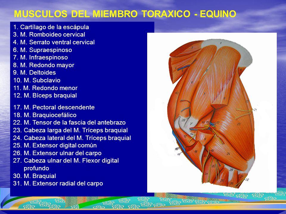1. Cartílago de la escápula 3. M. Romboideo cervical 4. M. Serrato ventral cervical 6. M. Supraespinoso 7. M. Infraespinoso 8. M. Redondo mayor 9. M.