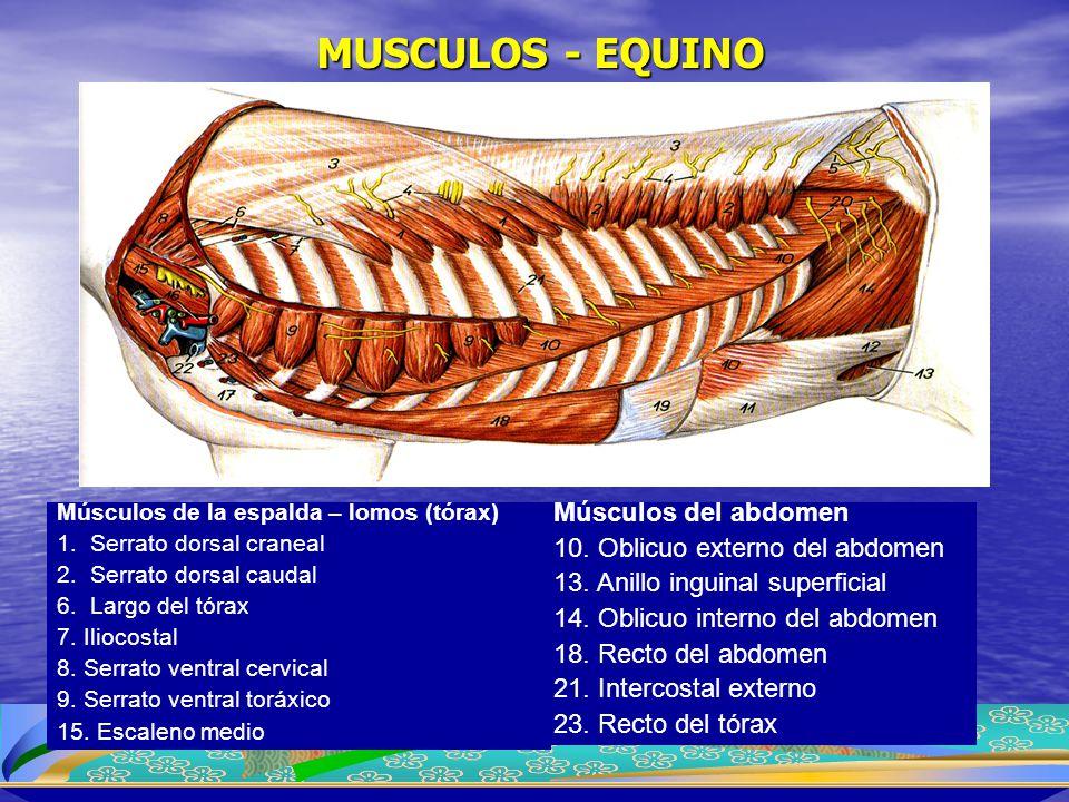 MUSCULOS - EQUINO Músculos de la espalda – lomos (tórax) 1.