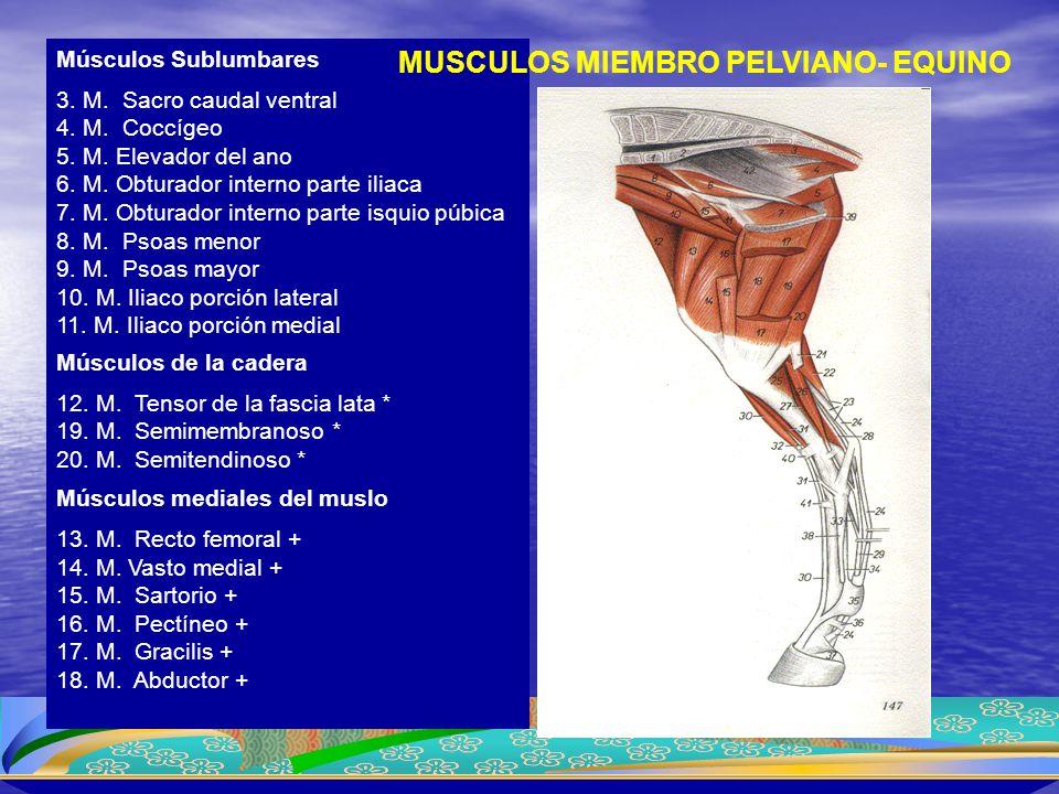 Músculos Sublumbares 3. M. Sacro caudal ventral 4. M. Coccígeo 5. M. Elevador del ano 6. M. Obturador interno parte iliaca 7. M. Obturador interno par