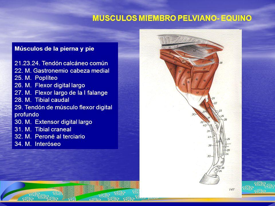 Músculos de la pierna y pie 21.23.24. Tendón calcáneo común 22. M. Gastronemio cabeza medial 25. M. Poplíteo 26. M. Flexor digital largo 27. M. Flexor