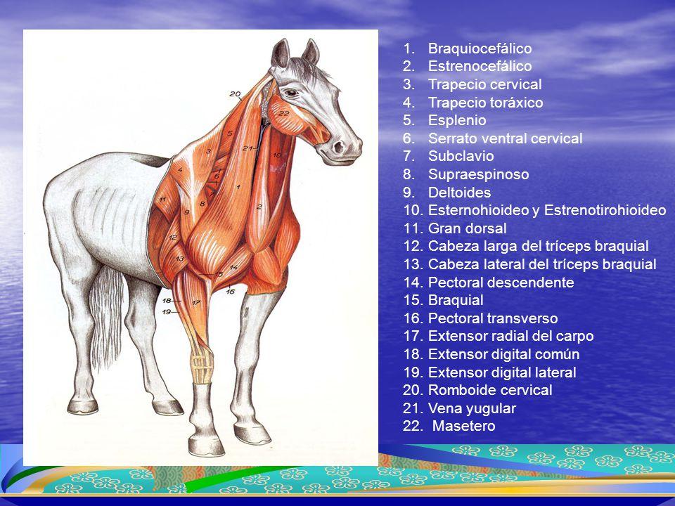 1.Braquiocefálico 2.Estrenocefálico 3.Trapecio cervical 4.Trapecio toráxico 5.Esplenio 6.Serrato ventral cervical 7.Subclavio 8.Supraespinoso 9.Deltoi
