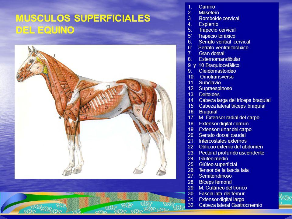 MUSCULOS SUPERFICIALES DEL EQUINO 1.Canino 2.Masetero 3.Romboide cervical 4.Esplenio 5.Trapecio cervical 5' Trapecio toráxico 6.Serrato ventral cervic