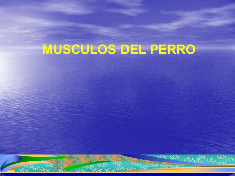 MUSCULOS DEL PERRO