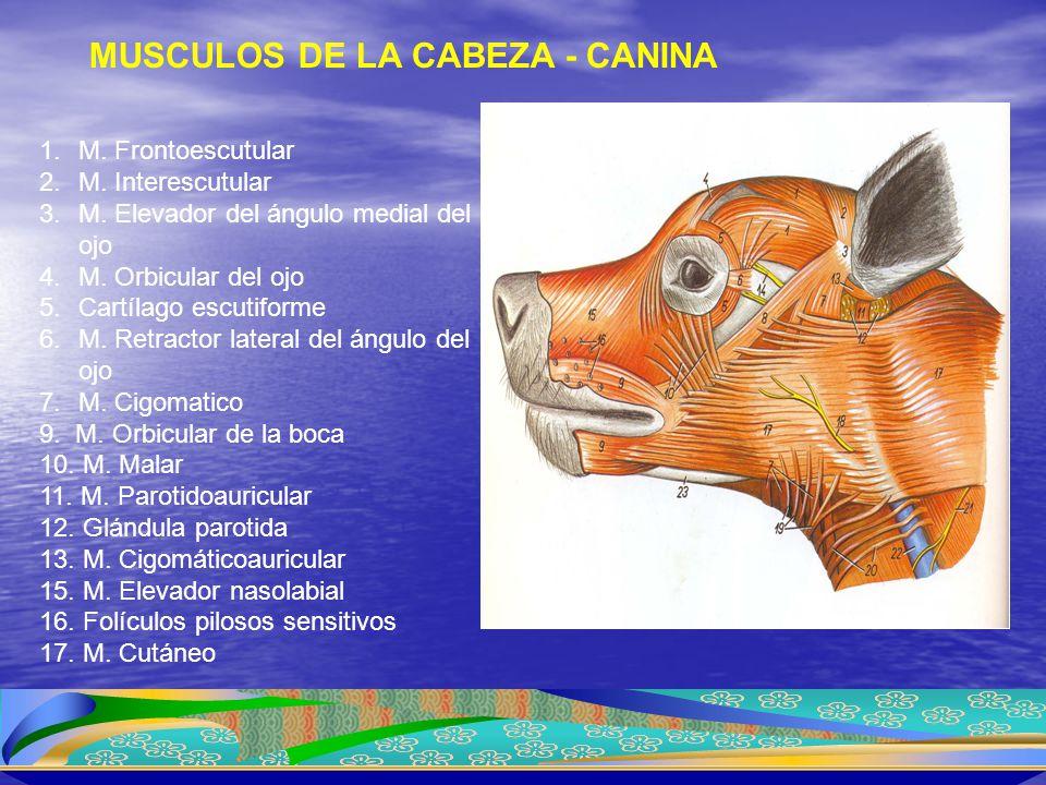 1.M. Frontoescutular 2.M. Interescutular 3.M. Elevador del ángulo medial del ojo 4.M. Orbicular del ojo 5.Cartílago escutiforme 6.M. Retractor lateral