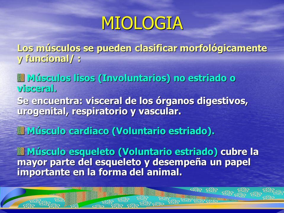 MIOLOGIA Los músculos se pueden clasificar morfológicamente y funcional/ : Músculos lisos (Involuntarios) no estriado o visceral. Músculos lisos (Invo
