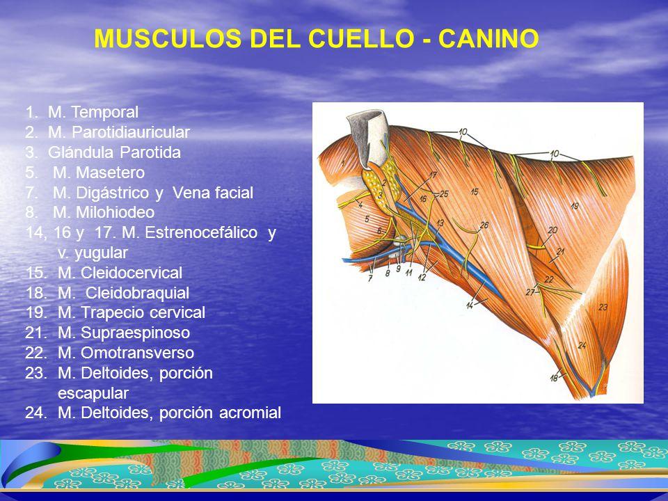 1. M. Temporal 2. M. Parotidiauricular 3. Glándula Parotida 5. M. Masetero 7. M. Digástrico y Vena facial 8. M. Milohiodeo 14, 16 y 17. M. Estrenocefá