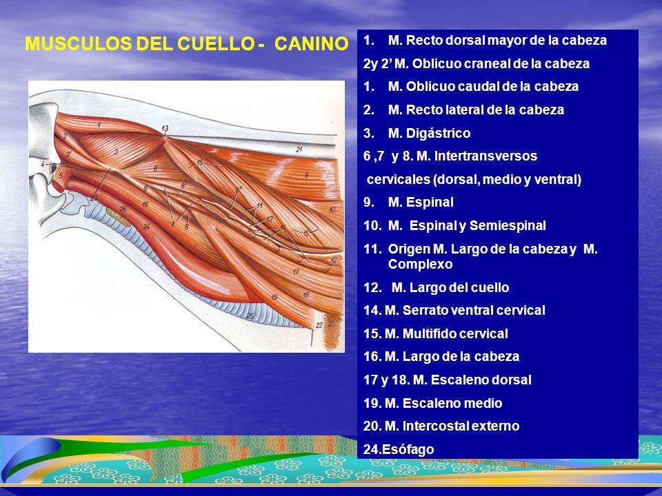 1.M. Recto dorsal mayor de la cabeza 2y 2' M. Oblicuo craneal de la cabeza 1.M. Oblicuo caudal de la cabeza 2.M. Recto lateral de la cabeza 3.M. Digás